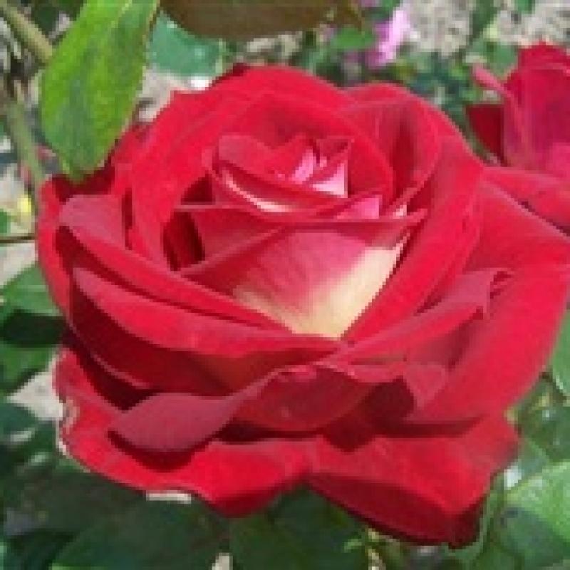 Чайно гибридная роза биколетте