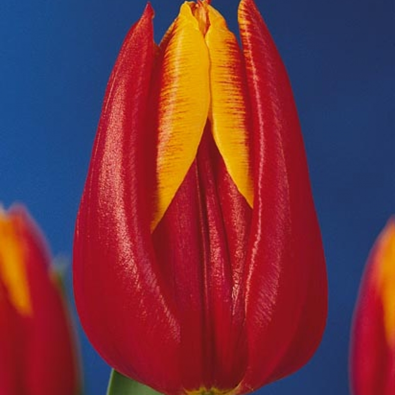 Тюльпаны Боливия
