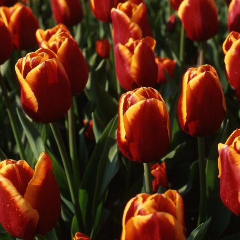 Тюльпаны Трендсеттер