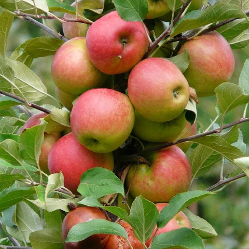 Вопрос-ответ Нужно ли укрывать на зиму колоновидные яблони?