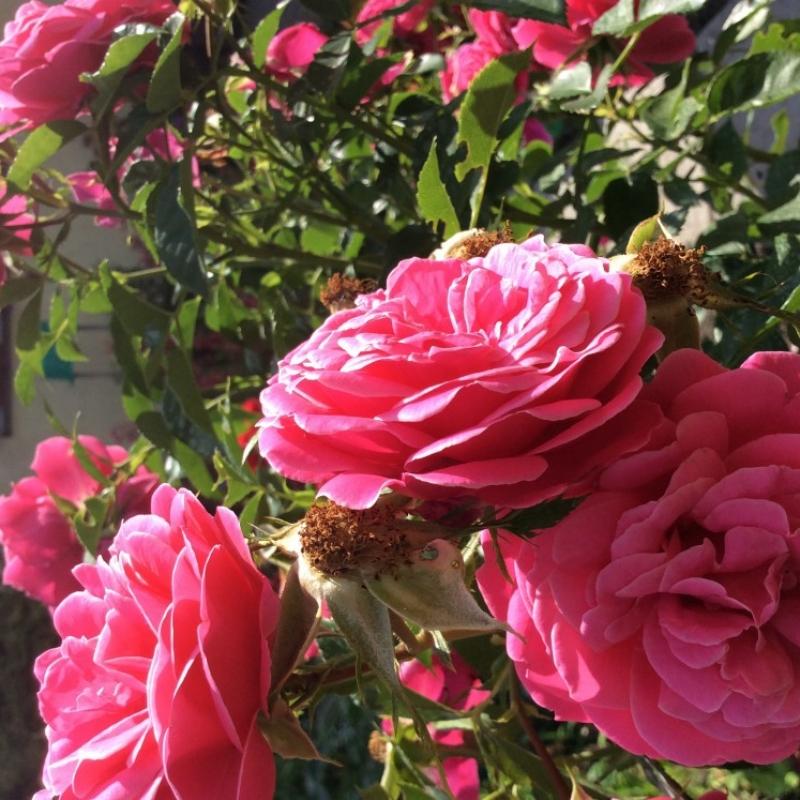 Розы Кардифф