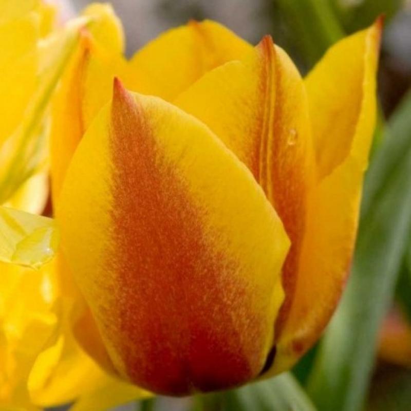 Тюльпаны Йокос Дрим