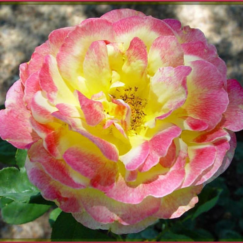 Розы Белла Рома