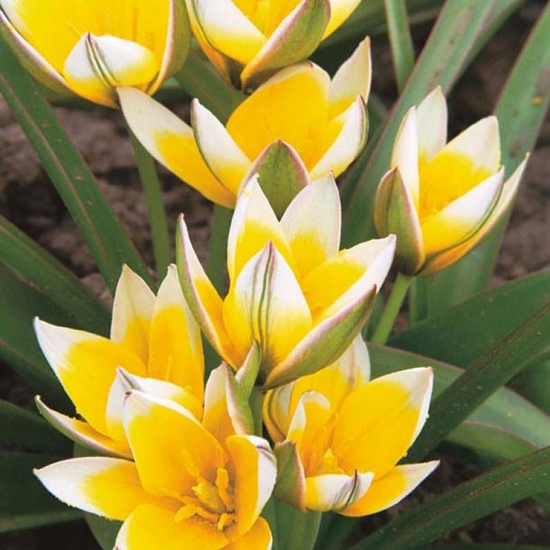 Тюльпаны Тарда