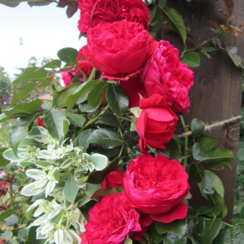 Розы Флорентина