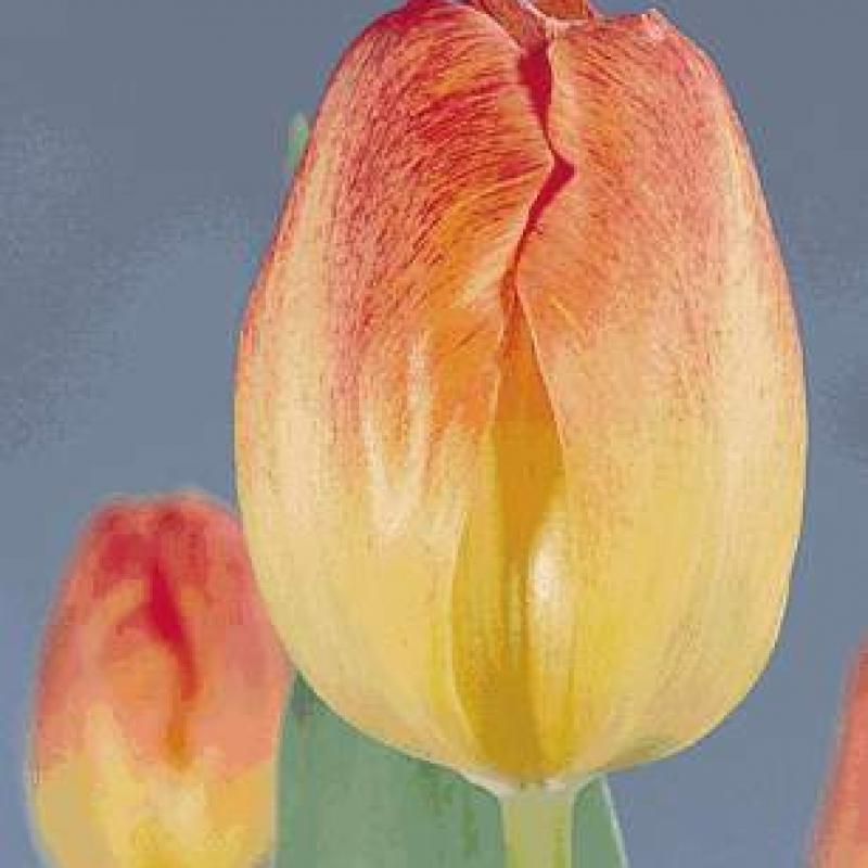 Тюльпаны Монтевидео