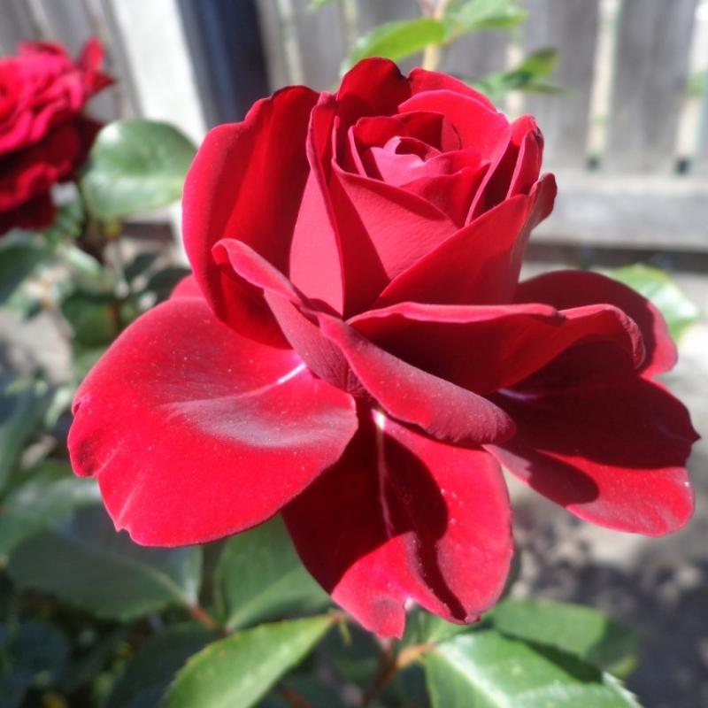 Розы Баккара