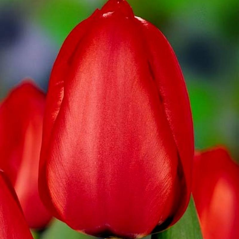 Тюльпаны Ред Илзе