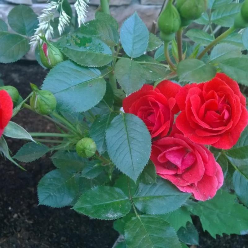 Розы Оранж Пацифик