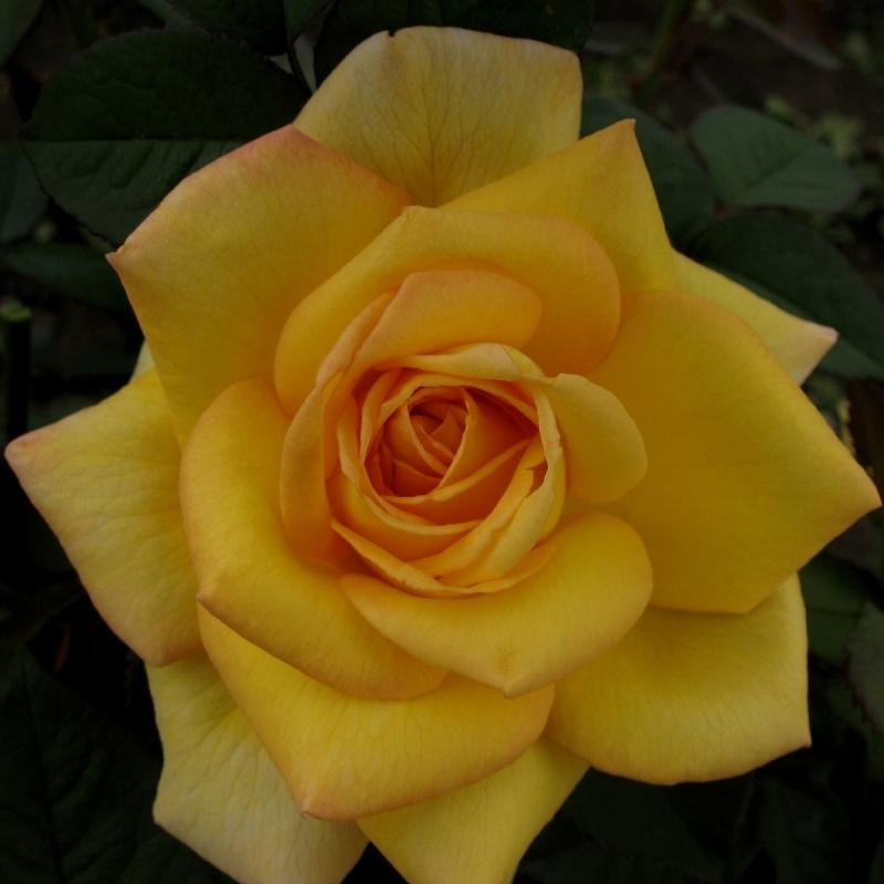 Розы О Соле Мио