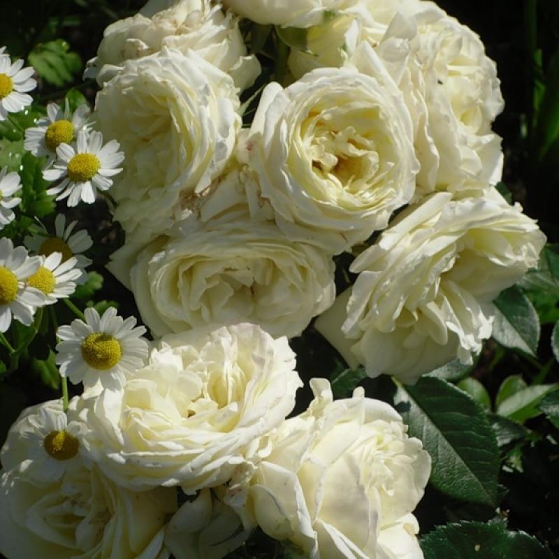 Розы Шамборд