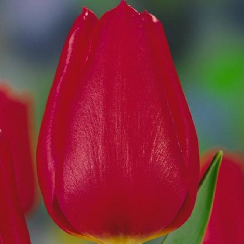 Тюльпаны Метеор