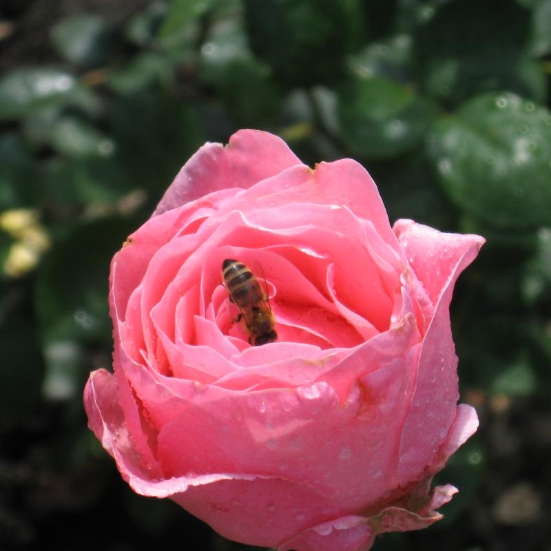 Розы Фламинго