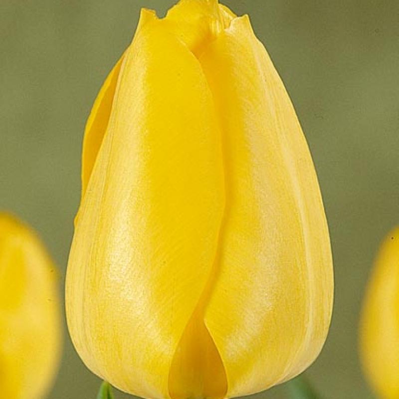Тюльпаны Фортиссимо