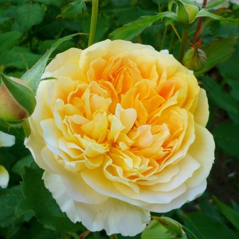 Розы Мулинекс