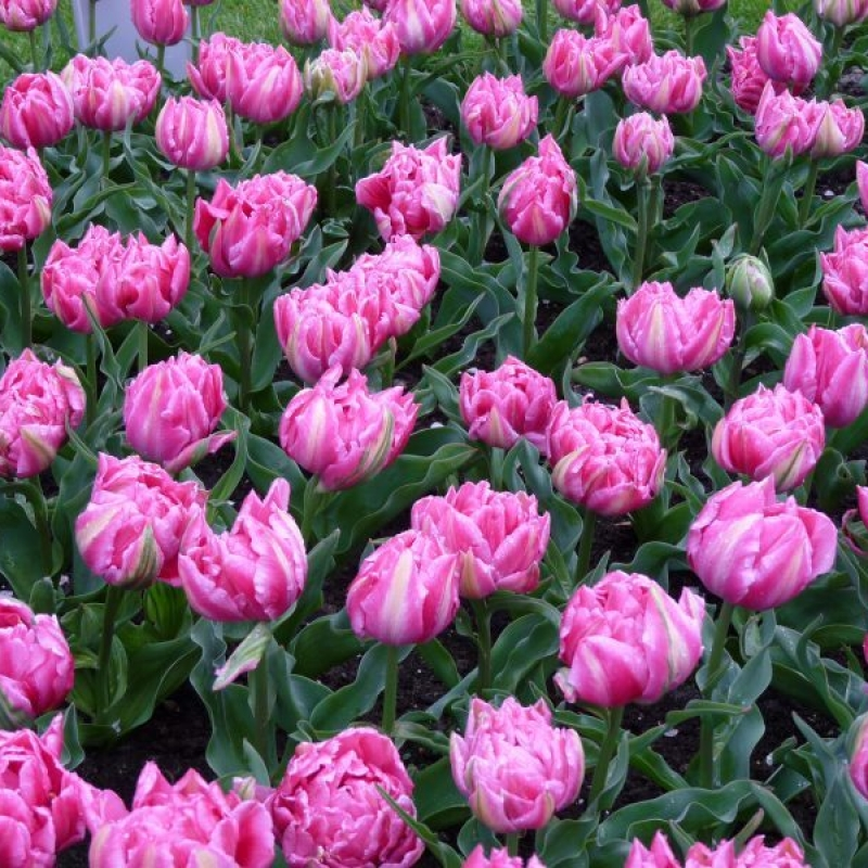 Тюльпаны Рембрандт