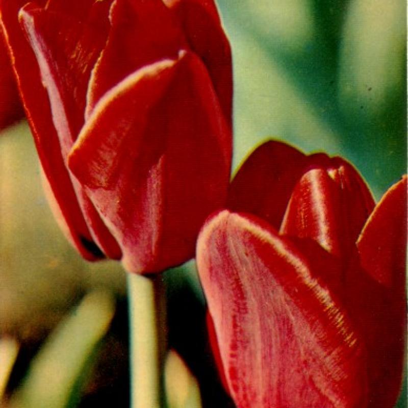 Тюльпаны Сан Дэнс