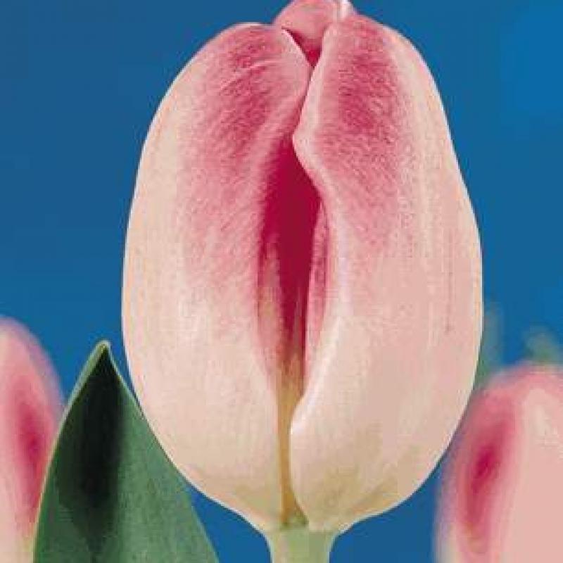 Тюльпаны Соестдик
