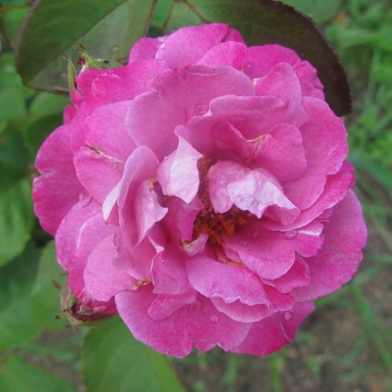 Розы Боссует