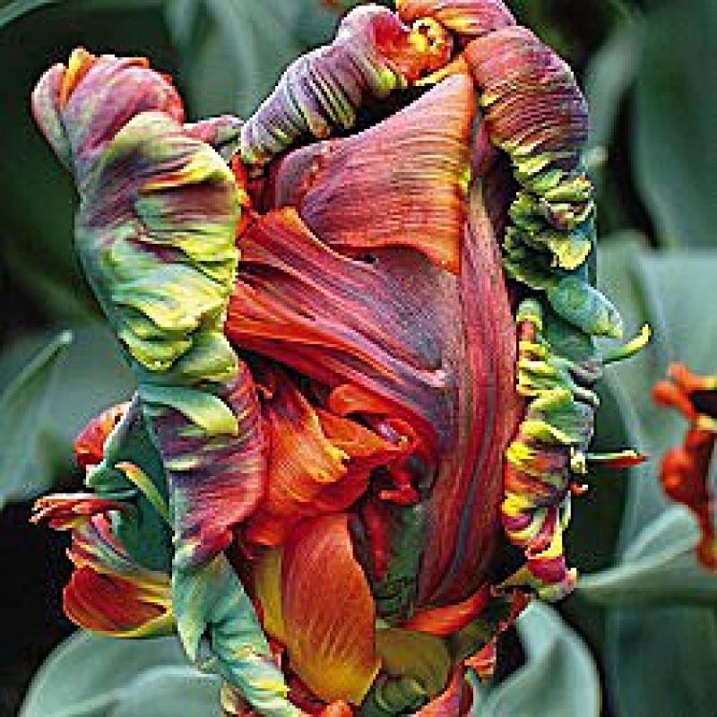 Тюльпаны Блюмекс