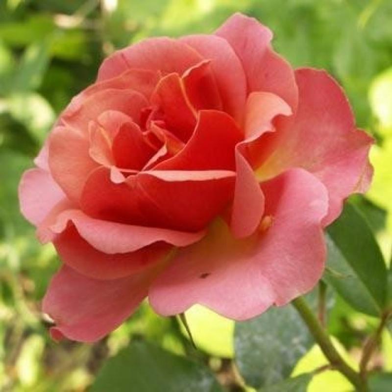 Розы Жан Кокто
