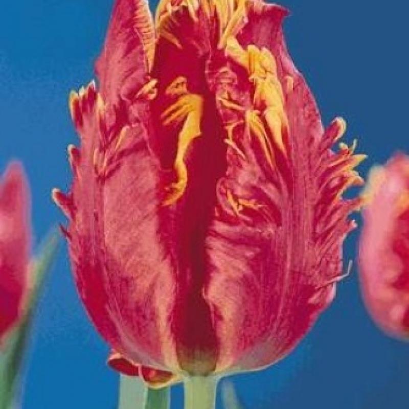 Тюльпаны Доорманс Элит