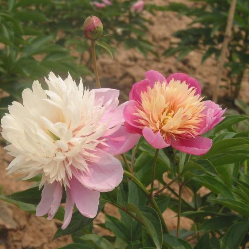 Пион Иней На Цветке