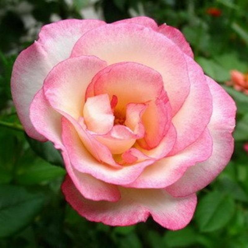 Розы Хандель
