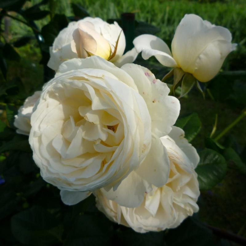 Розы Уетерсенер КлостерРоуз