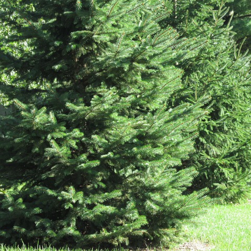 Picea Fir.  All about plant. Fir variety.