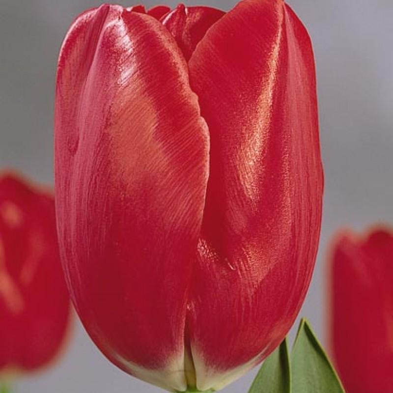 Тюльпаны Фризо