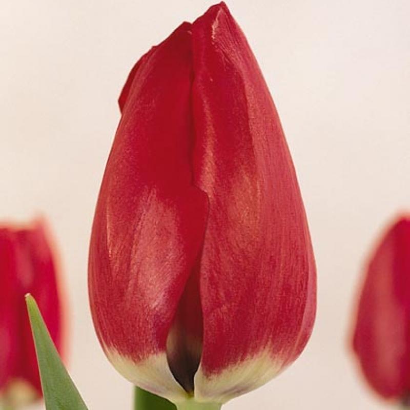 tulpen selebreyshn katalog sorten samen tulpen selebreyshn pflege vermehren und. Black Bedroom Furniture Sets. Home Design Ideas
