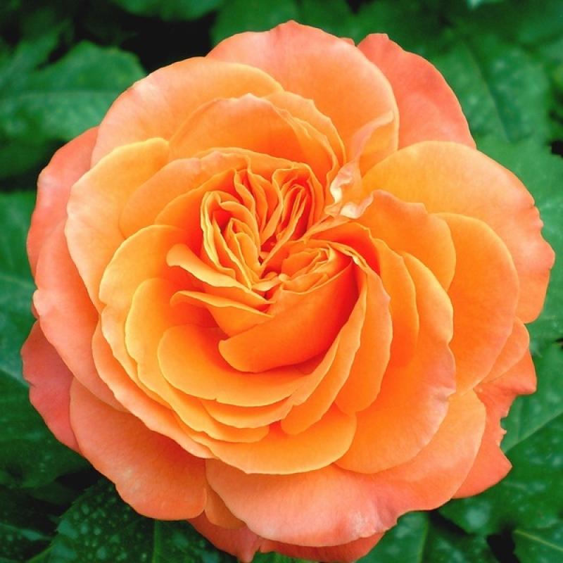 Розы Ибица