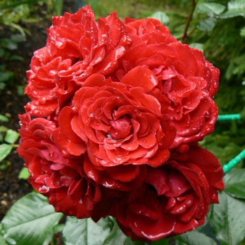 Розы Шоубиз