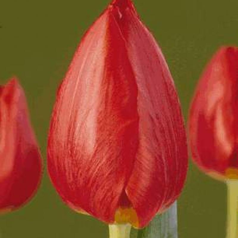 Тюльпаны Таити