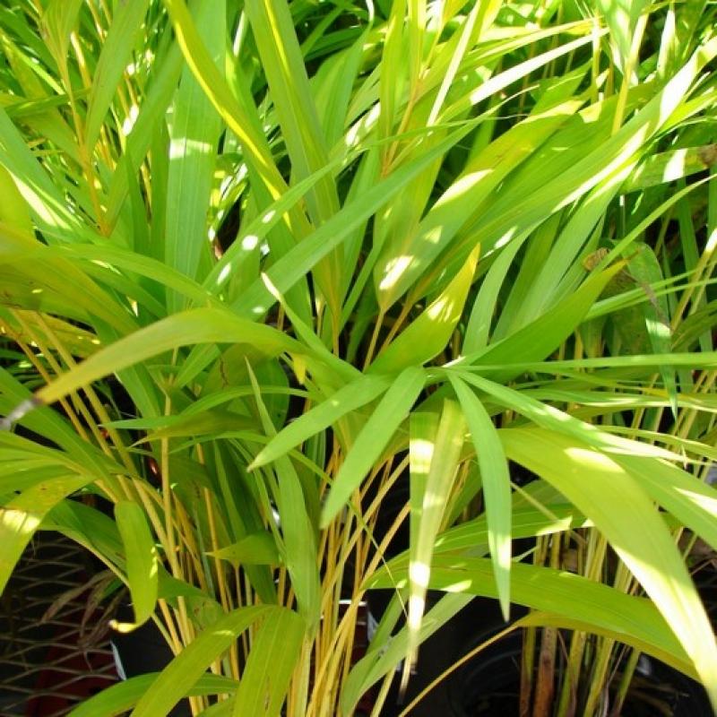 Комнатные растения Хризалидокарпус (Арека)