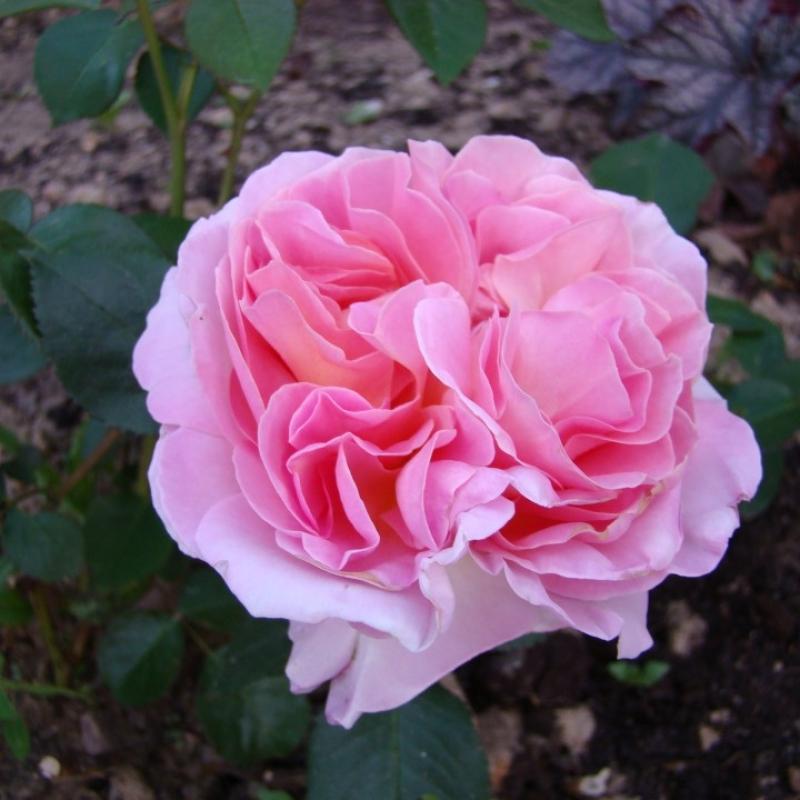Роза мирьям энциклопедия роз
