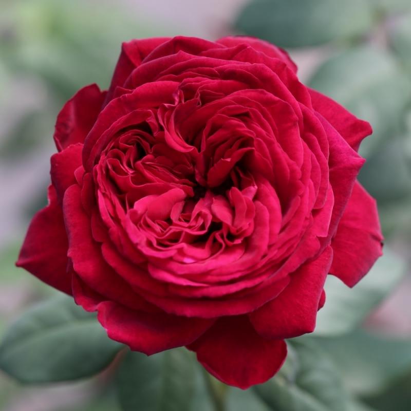 Розы Госпел