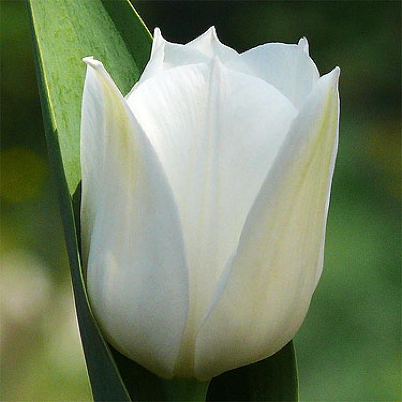 Тюльпаны Роял Вирджин