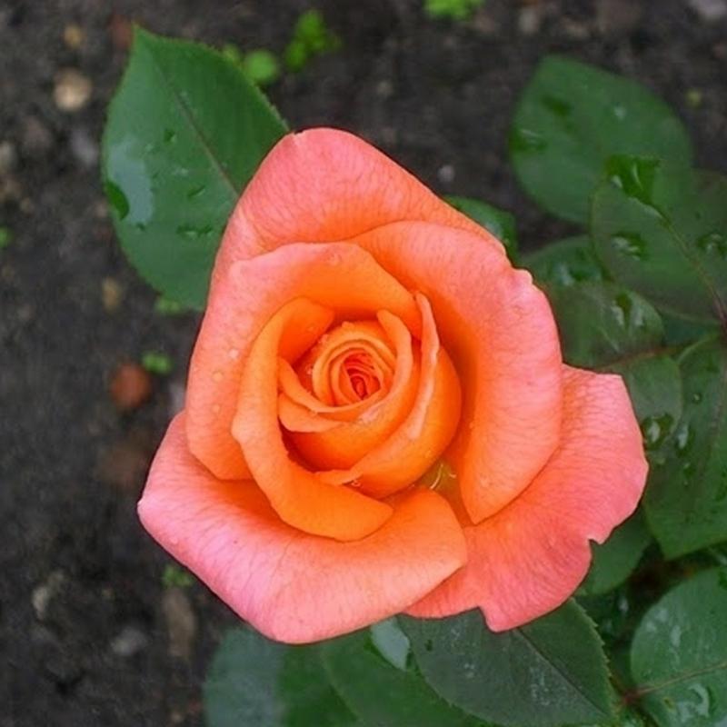 Розы Амбассадор