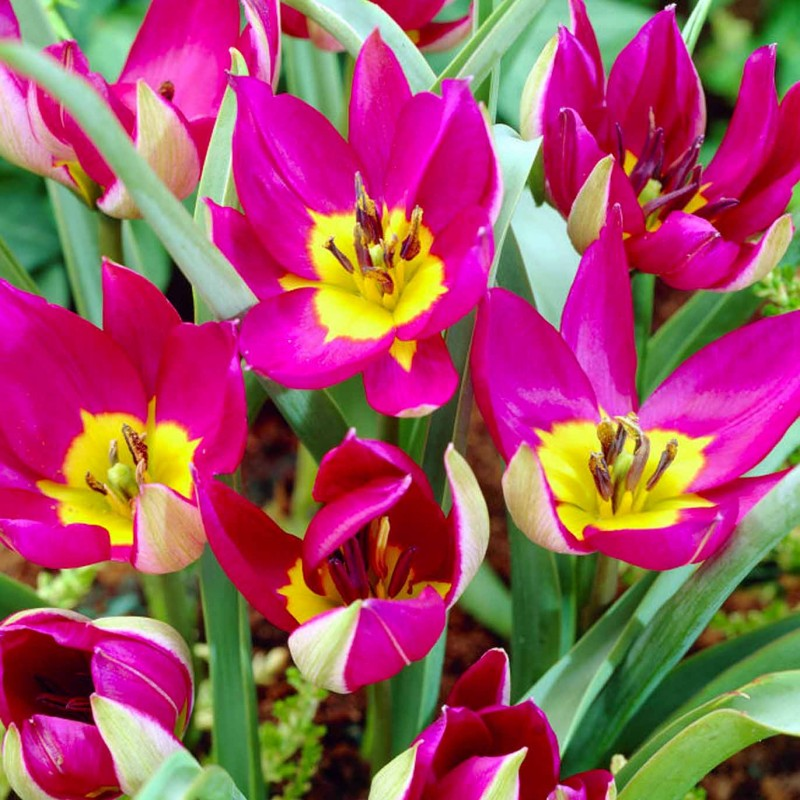 Тюльпаны Одалиска