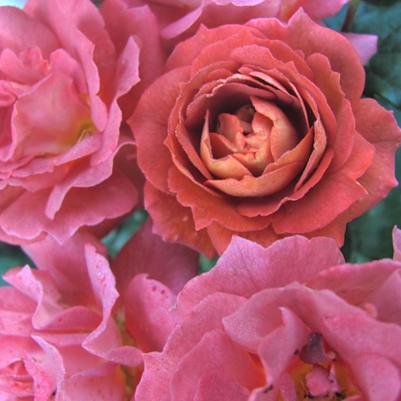 Розы Ирис Вебб