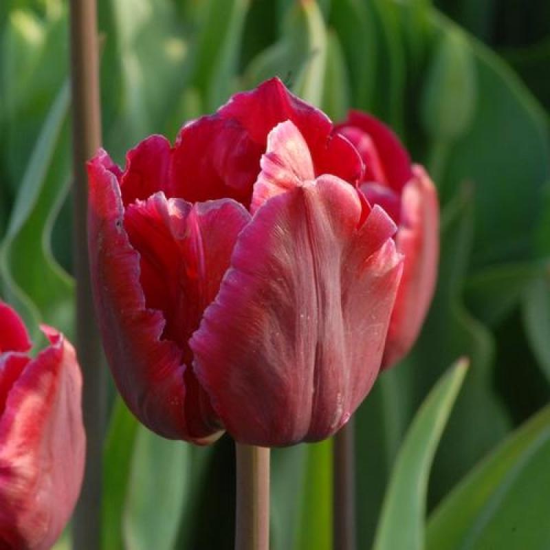 Тюльпаны Отелло