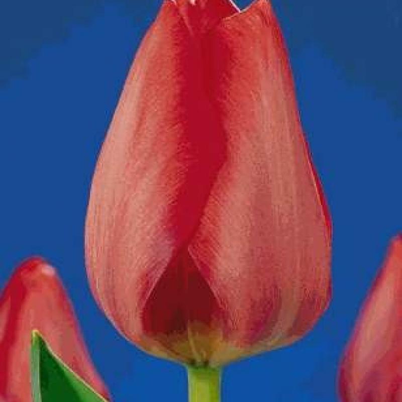 Тюльпаны Сантпорт Глори