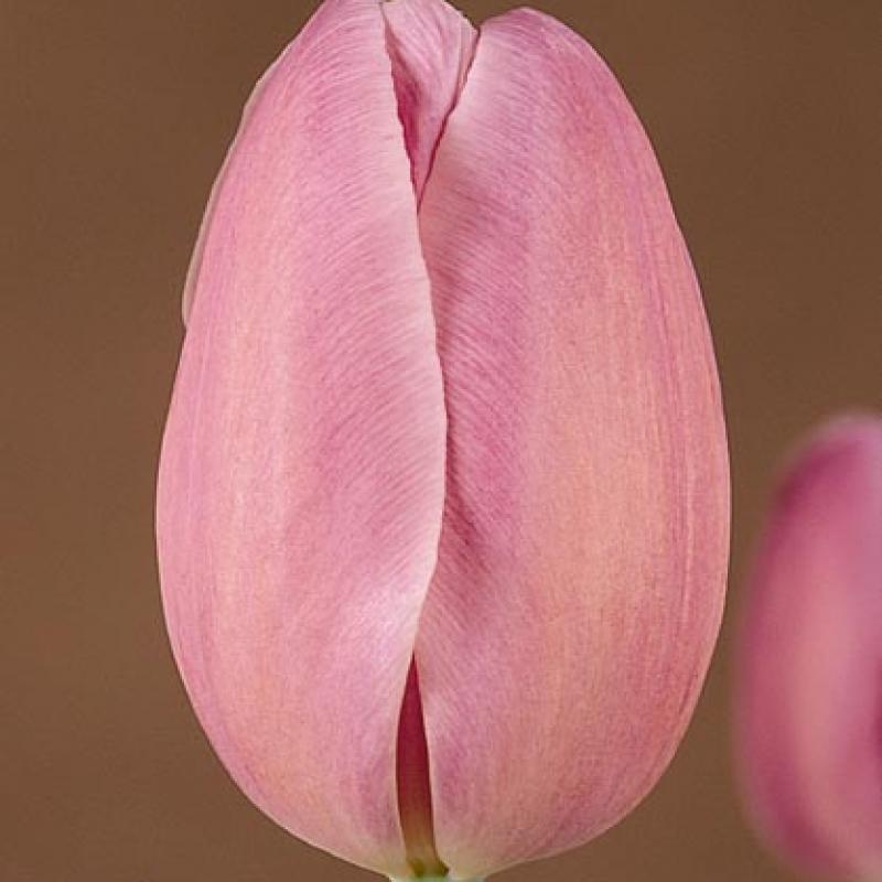 Тюльпаны Элси