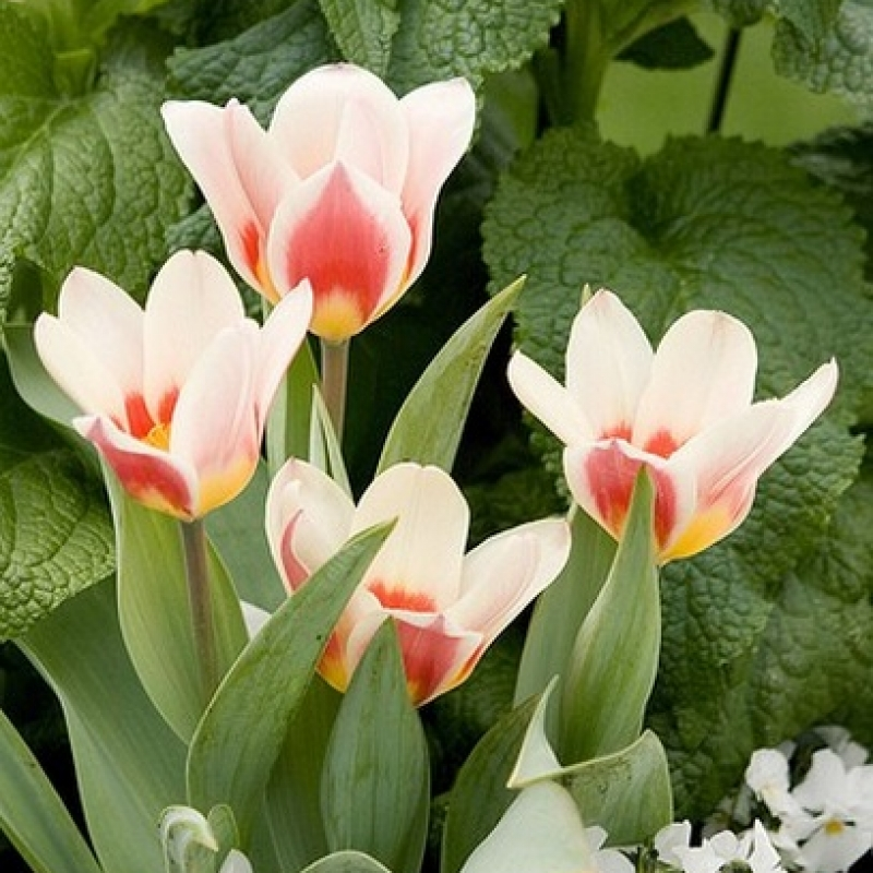 Тюльпаны Аналита
