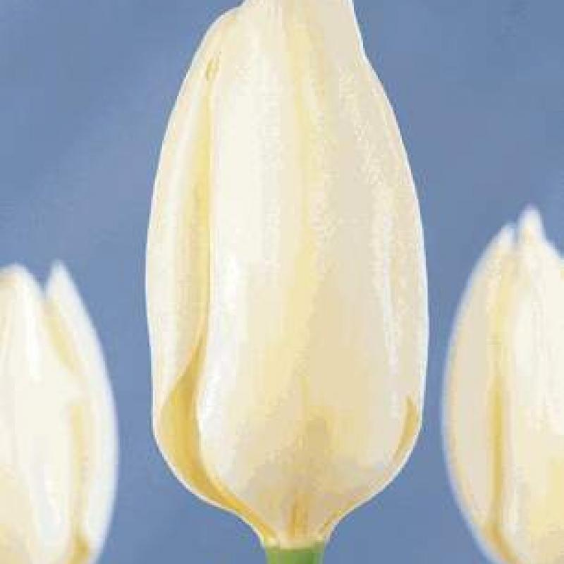 Тюльпаны Роки Маунтэйнс