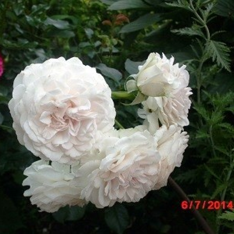 Розы Грейт Норс Истен Роуз