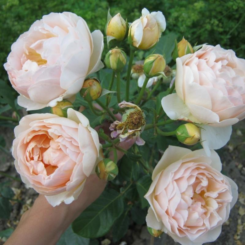 Розы Жуде Зе Обскур