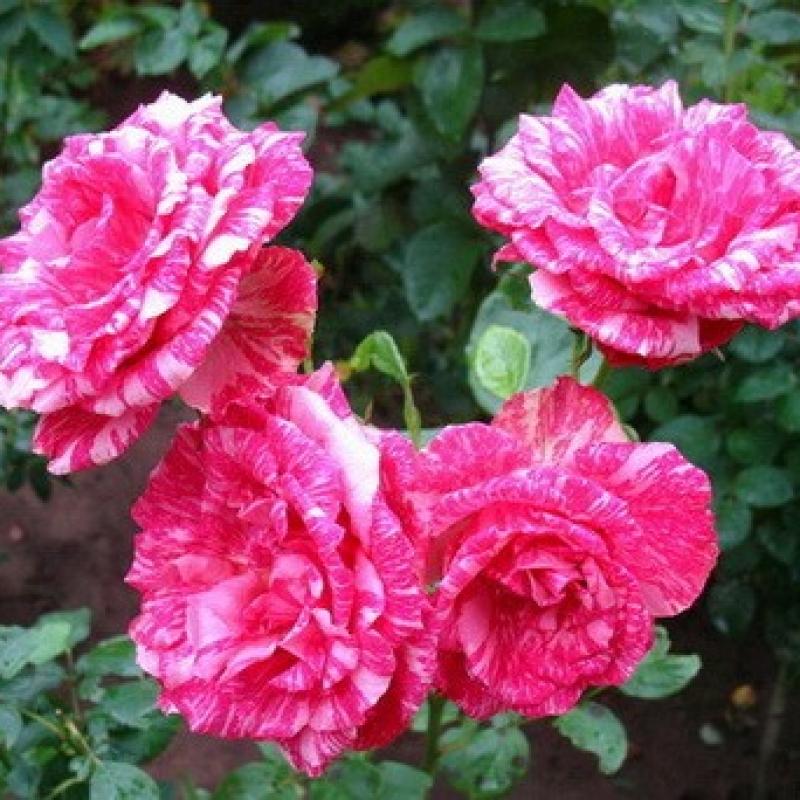 Розы Пинк Интуишн